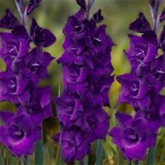 Гладиолус Purple Flora /3 шт/