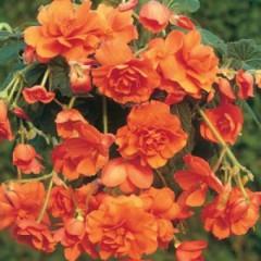 Бегония Cascade Orange /1 шт/
