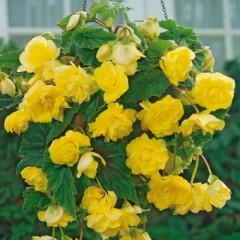 Бегония Cascade Yellow /1 шт/