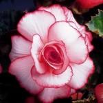 Бегония Bouton de Rose /1 шт/