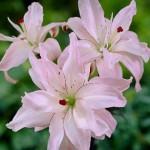 Лилия Spring Pink /1 шт/