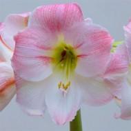 Амариллис Cherry Blossom /1 шт/