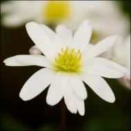 Анемона White Splendour /5 шт/