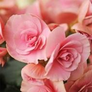 Бегония Non Stop Light Pink /1 шт/