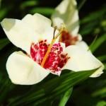 Тигридия Alba Grandiflora /5 шт/