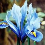 Ирис reticulata Alida /5 шт/