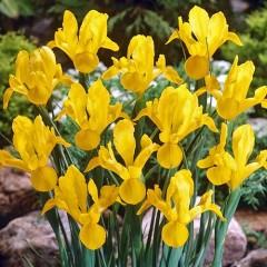 Ирис Hollandica Yellow /5 шт/
