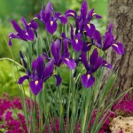 Ирис Hollandica Purple /5 шт/