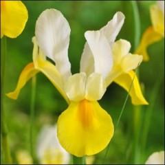 Ирис Hollandica Yellow-White /5 шт/