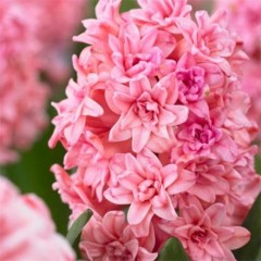 Гиацинт Махровый Spring Beauty /1 шт/