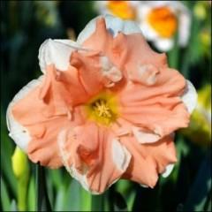 Нарцисс Apricot Whirl /2 шт/