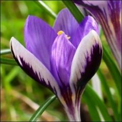 Крокус Spring Beauty /5 шт/
