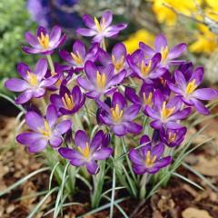 Крокуc Whitewell Purple /5 шт/