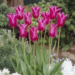 Тюльпан Lilac Time /3 шт/