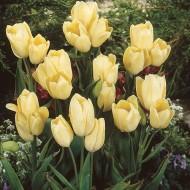 Тюльпан H.D.Genscher /3 шт/