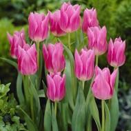 Тюльпан China Pink /3 шт/