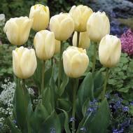 Тюльпан Ivory Floradale /3 шт/