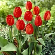 Тюльпан Red Flair /3 шт/
