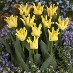 Тюльпан Yellow Crown /3 шт/
