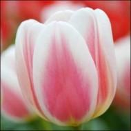 Тюльпан Beau Monde /3 шт/