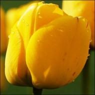 Тюльпан Golden Apeldoorn /3 шт/