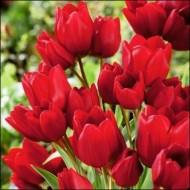 Тюльпан Red Georgette /3 шт/