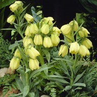 Фритиллярия Pallidiflora /1 шт/