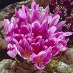 Безвременник (колхикум) Lilac Wonder /1 шт/