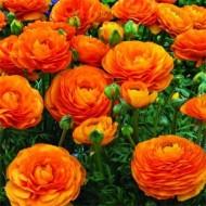 Ранункулюс Orange /5 шт/