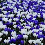 Крокусы Blue and White Микс /20 шт/