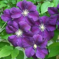 Клематис Etoile Violette /1 шт/