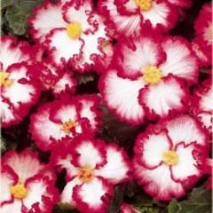 Бегония Crispa Marginata white-rose /1 шт/