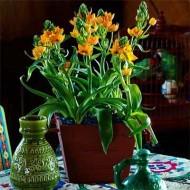 Орнитогалум Dubium Oranje /1 шт/
