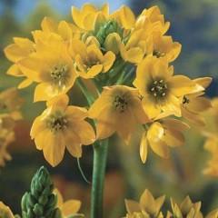 Орнитогалум Dubium Yellow /2 шт/