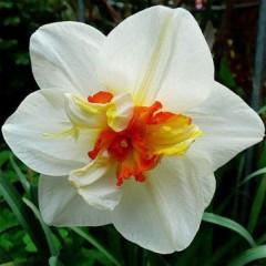 Нарцисс Flower Drift /3 шт/