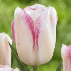 Тюльпан Blushing Girl /3 шт/