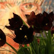 Тюльпан Vincent van Gogh /2 шт/