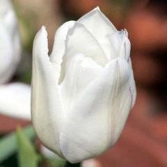 Тюльпан White Prince /3 шт/