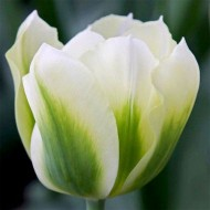 Тюльпан Spring Green /3 шт/