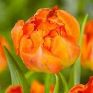 Тюльпан Monte Orange /2 шт/