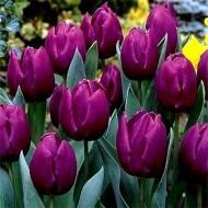 Тюльпан Purple Prince /3 шт/