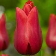 Тюльпан Red Shine /3 шт/