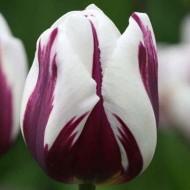 Тюльпан Rems Favourite /2 шт/