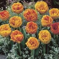 Тюльпан Double Beauty of Apeldoorn /3 шт/