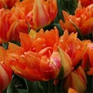 Тюльпан Willem Van Oranje /3 шт/