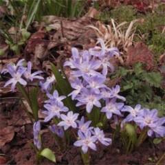 Хионодокса Violet Beauty /10 шт/
