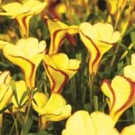 Оксалис Versicolor Golden Cape /1 шт/