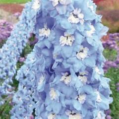 Дельфиниум Sky Blue White Bee /1 шт/