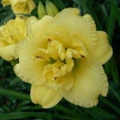 Лилейник Cabbage Flower /1 шт/