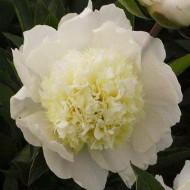 Пион Charle`s White /1 шт/
